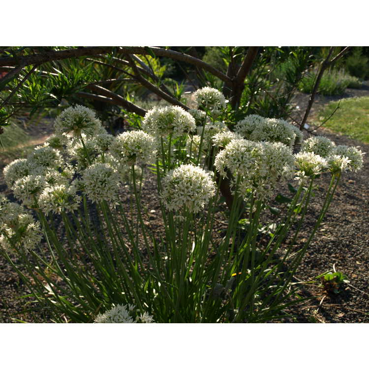 Allium canadense var. florosum 'White Flag' - meadow garlic