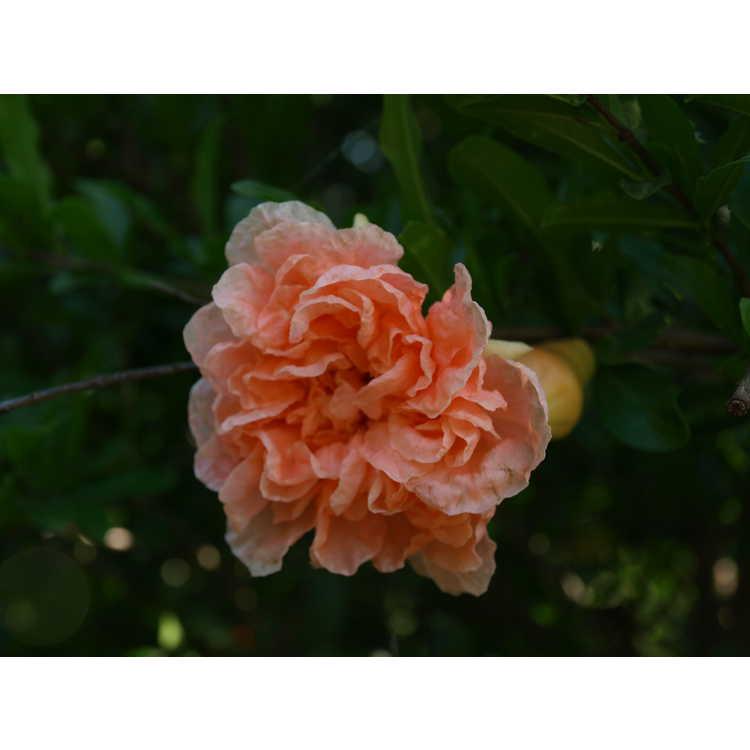 Punica granatum 'Toyosho' - apricot-flower pomegranate