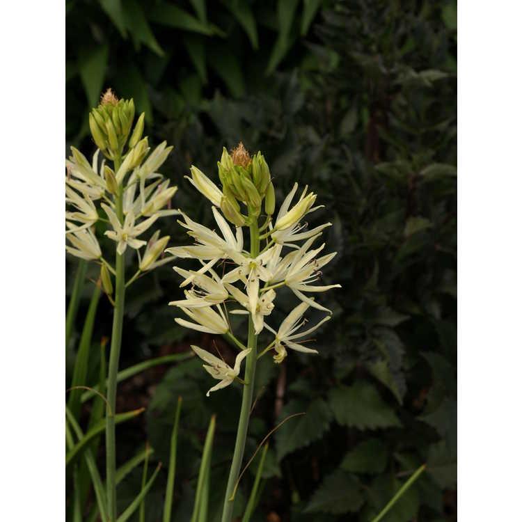 Camassia leichtlinii Alba