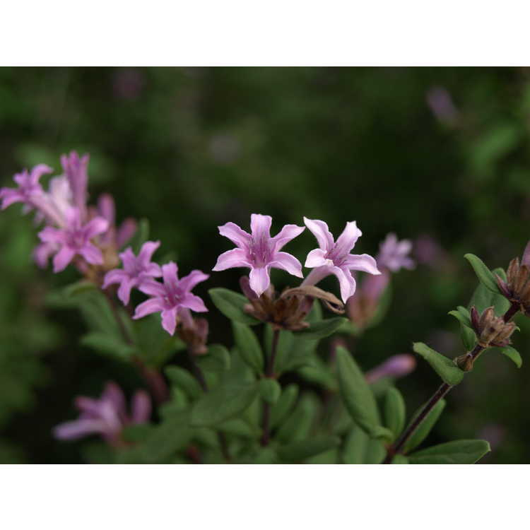 Leptodermis oblonga - false lilac