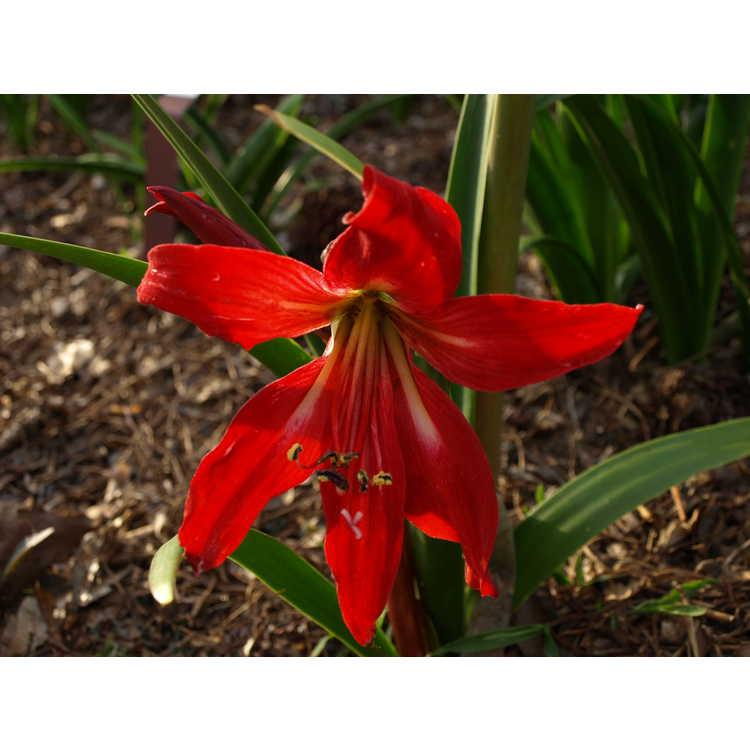 ×Hippeasprekelia - hybrid amaryllis
