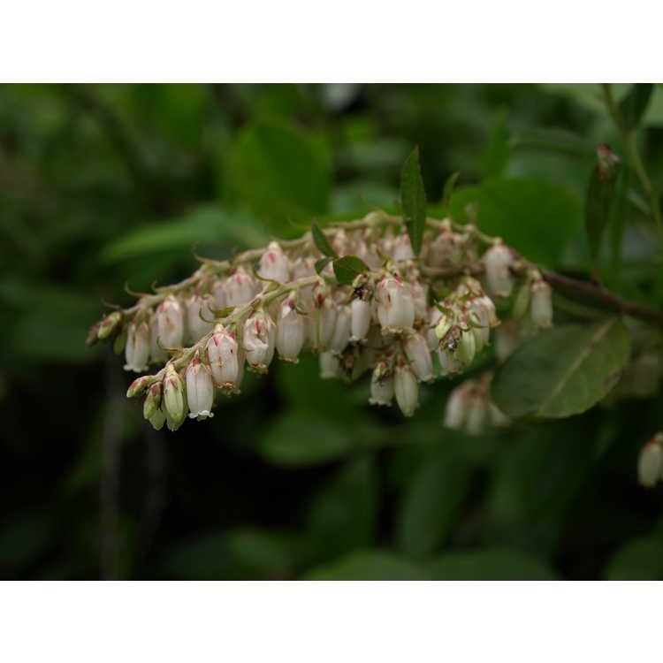 Leucothoe racemosa