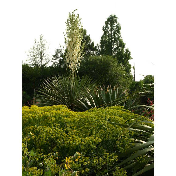 Euphorbia Deans Hybrid