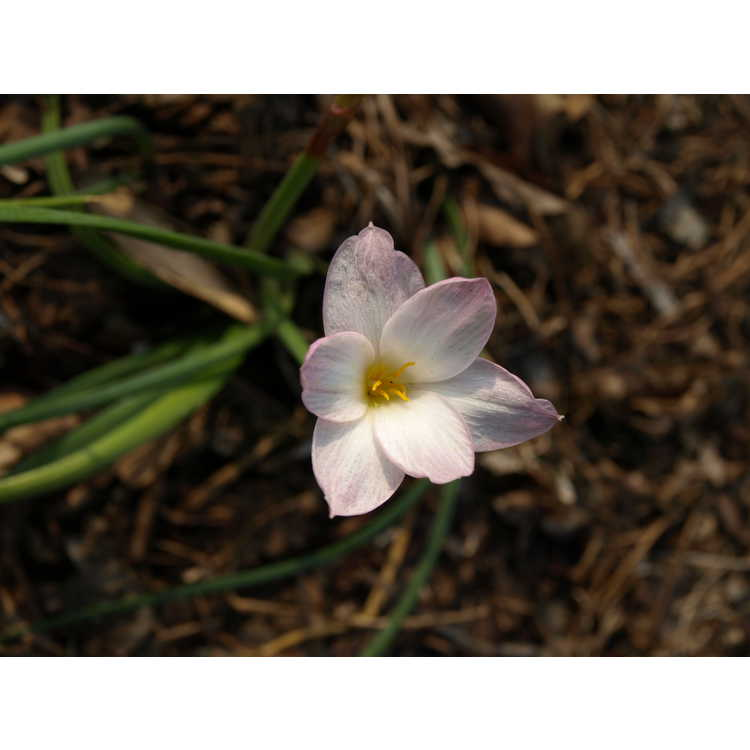 Zephyranthes morrisclintii Redneck Romance strain