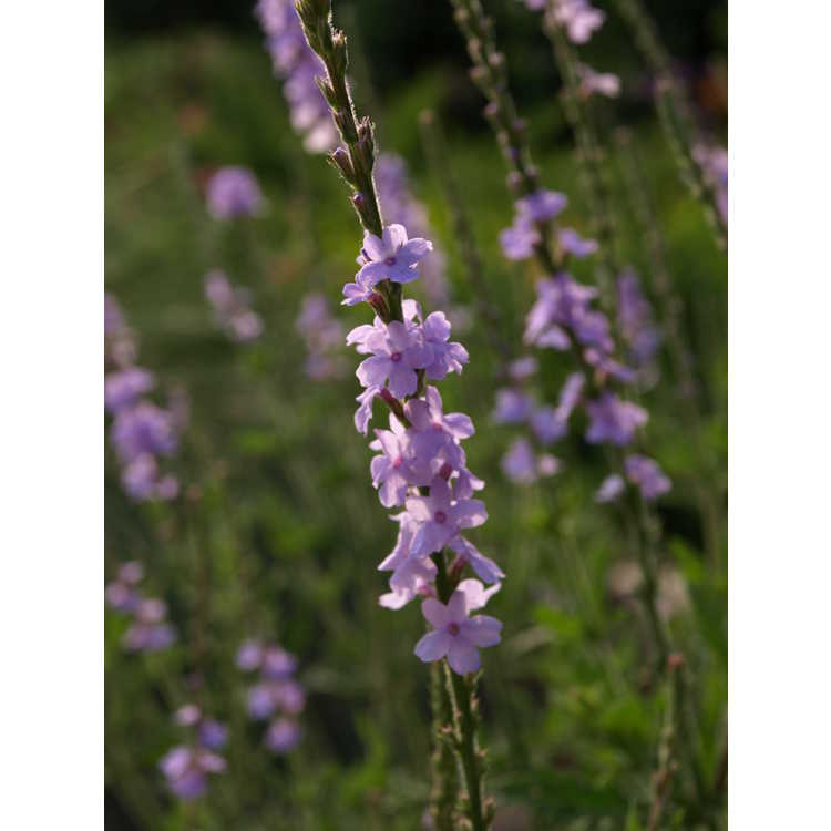 Verbena aff. xutha - blue Porterwed