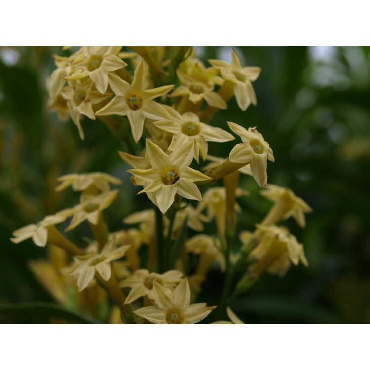 Cestrum parqui - willow-leaved jessamine