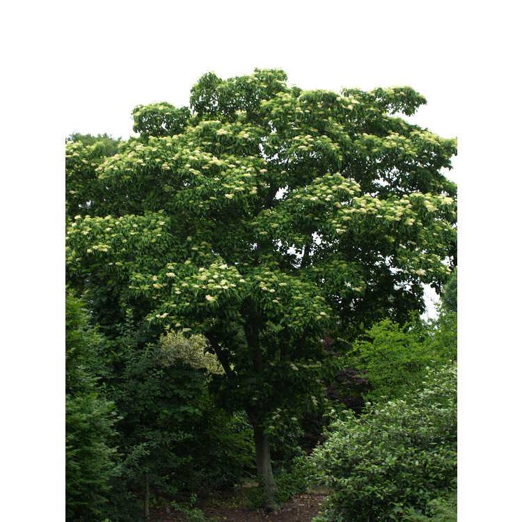 Cornus macrophylla