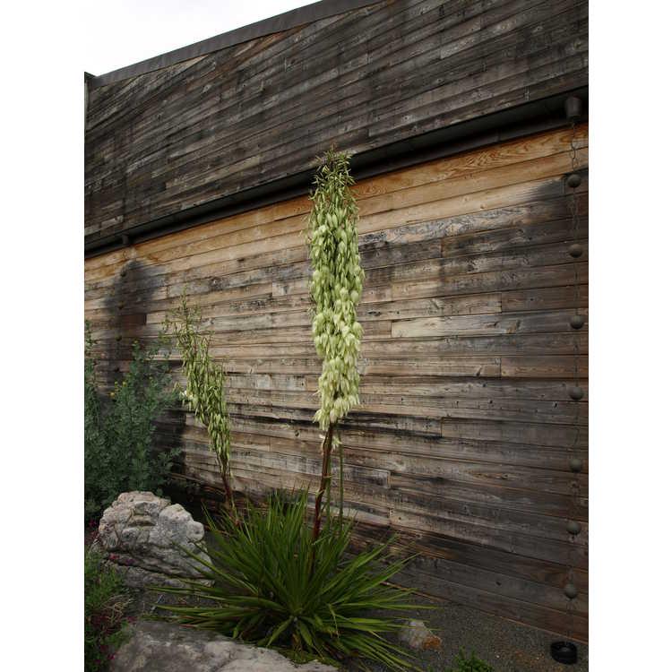 Yucca rupicola