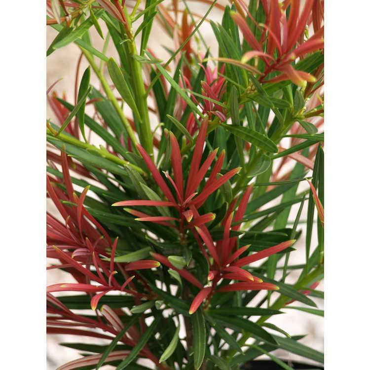 Podocarpus macrophyllus 'Akame'