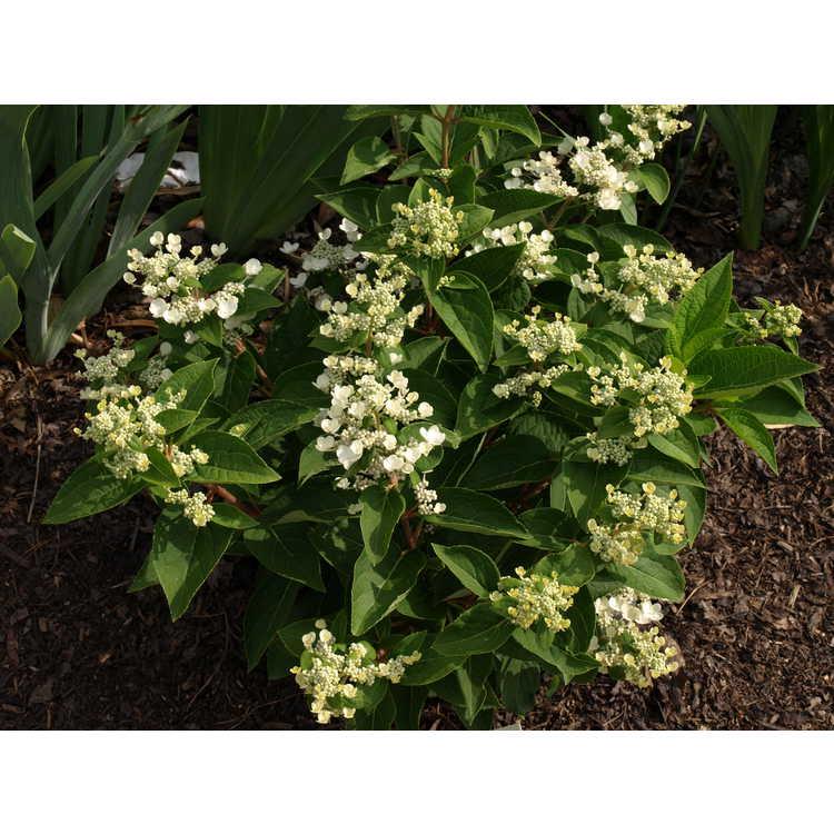 Hydrangea paniculata ex. Dharuma