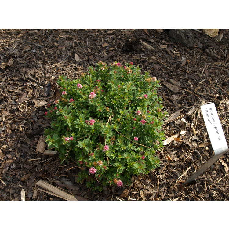 Spiraea japonica 'Rebum' - Japanese spirea