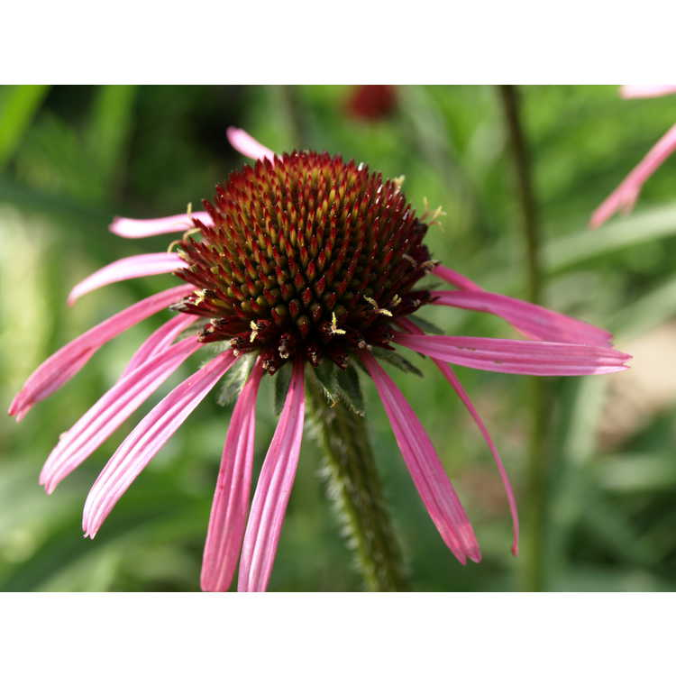 Echinacea tennesseensis - Tennessee purple coneflower
