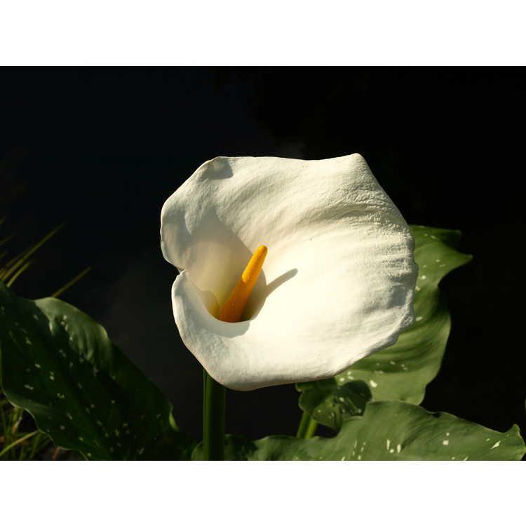 Zantedeschia aethiopica White Giant