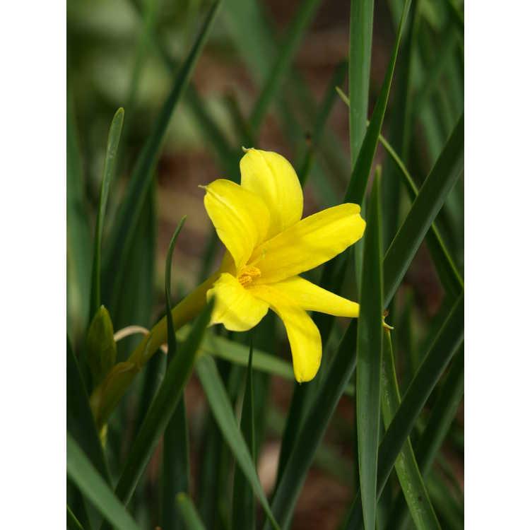 Chlidanthus fragrans