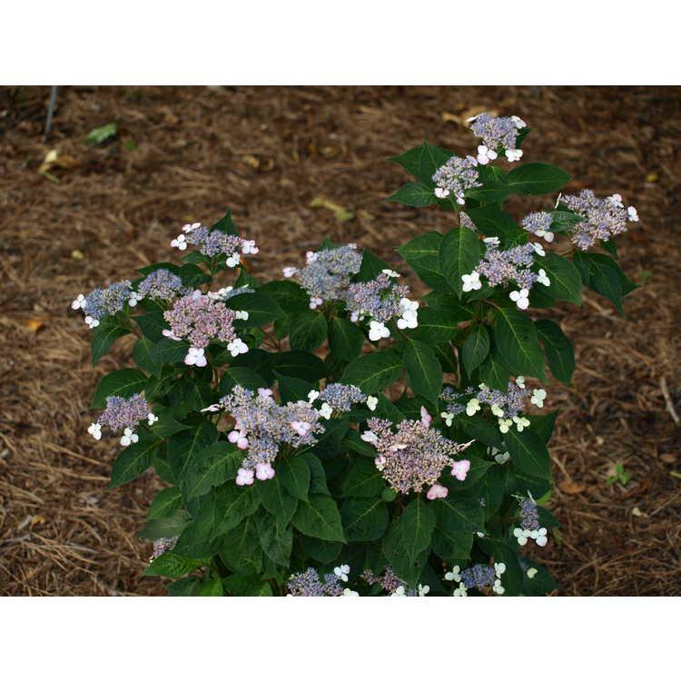 Hydrangea serrata 'Intermedia' - mountain hydrangea