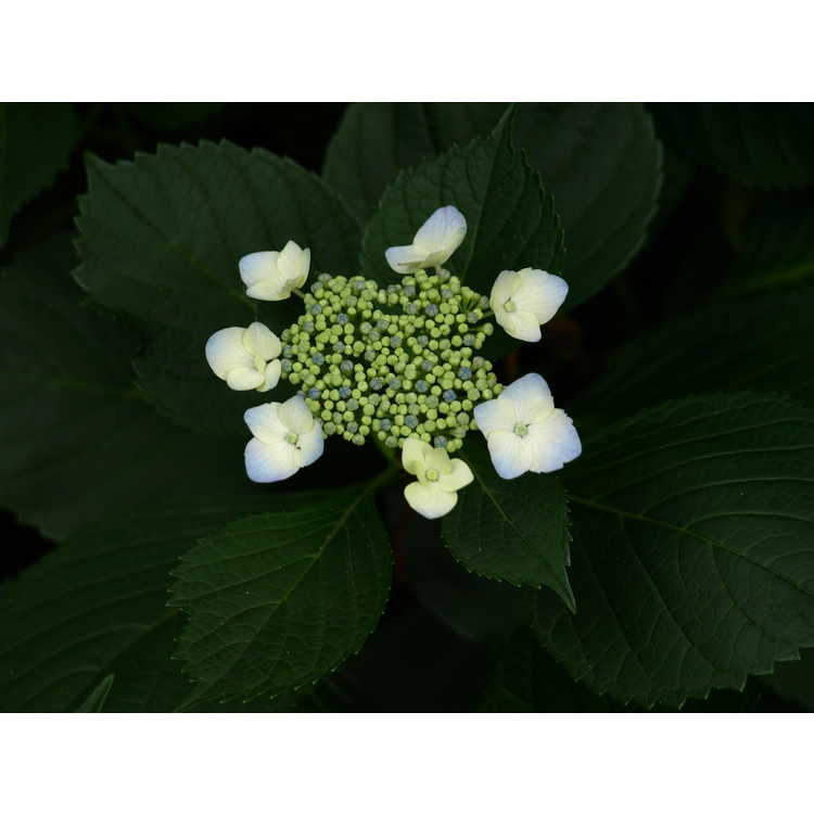 Hydrangea macrophylla 'Hadsbury' - French hydrangea