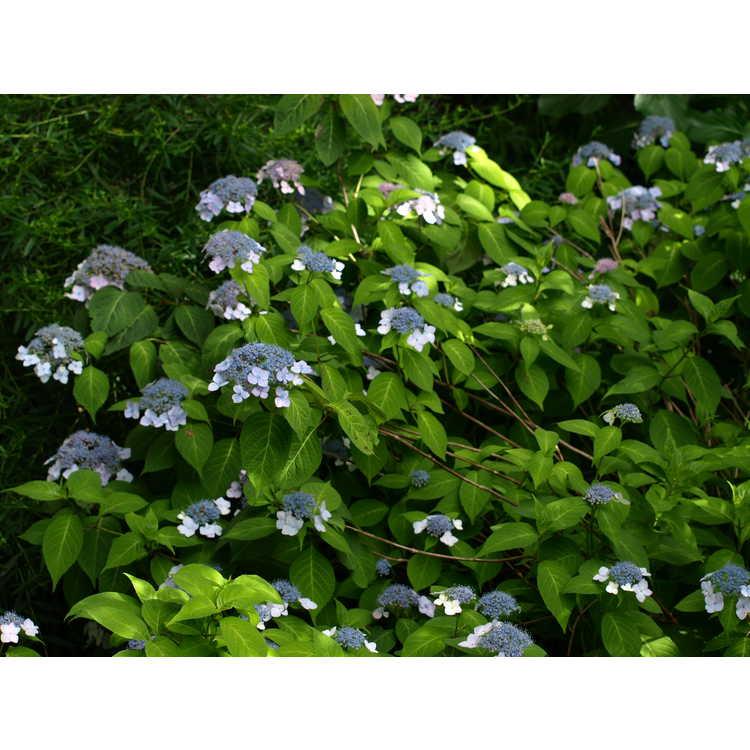 Hydrangea serrata Shishiva