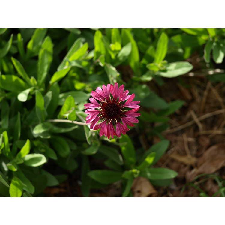 Gaillardia aestivalis var. winkleri 'Grape Sensation' - purple Texas firewheel