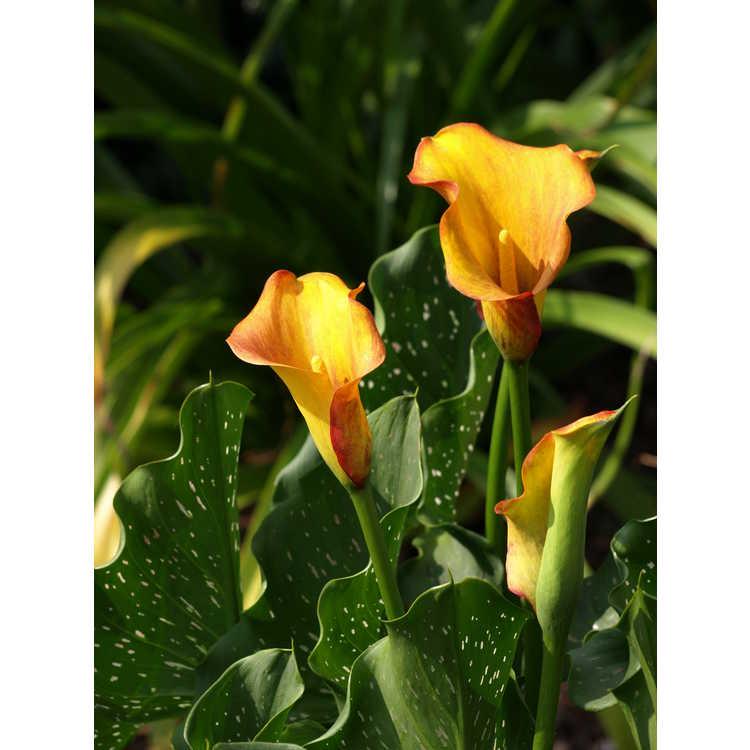Zantedeschia 'Mango'