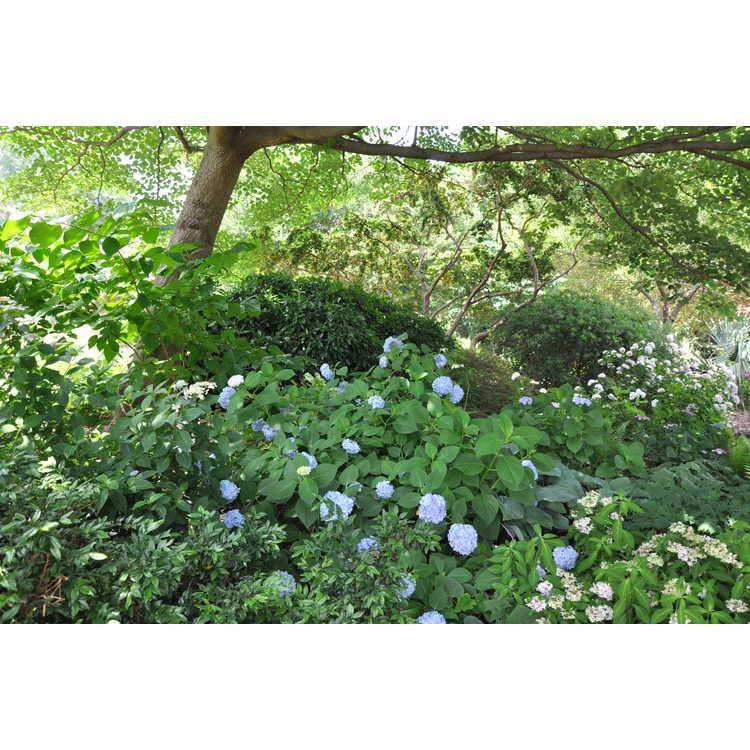 Hydrangea paniculata - panicled hydrangea