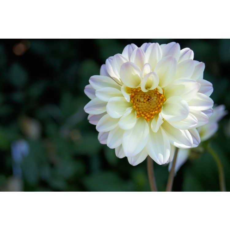 Dahlia 'Swanlake' - garden dahlia