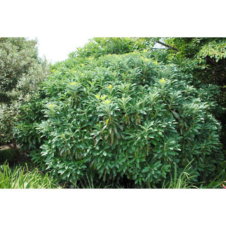 Daphniphyllum humile