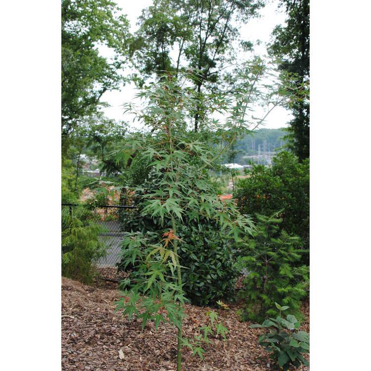Acer oliverianum subsp. formosanum