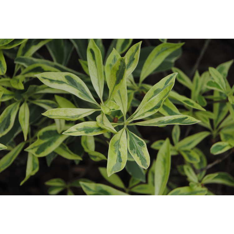 Illicium floridanum 'Shady Lady'