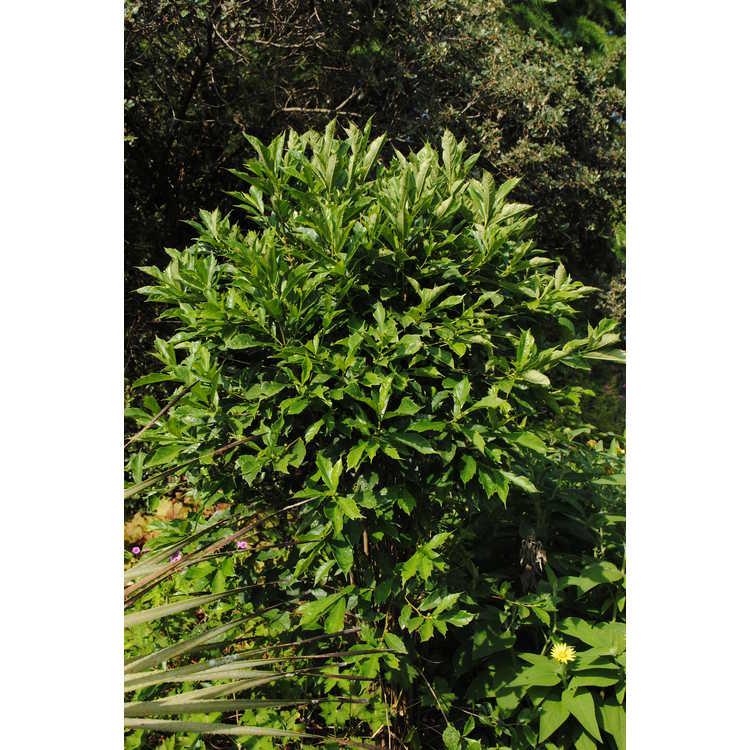 Ficus gasparriniana var. laceratifolia - Christmas fig