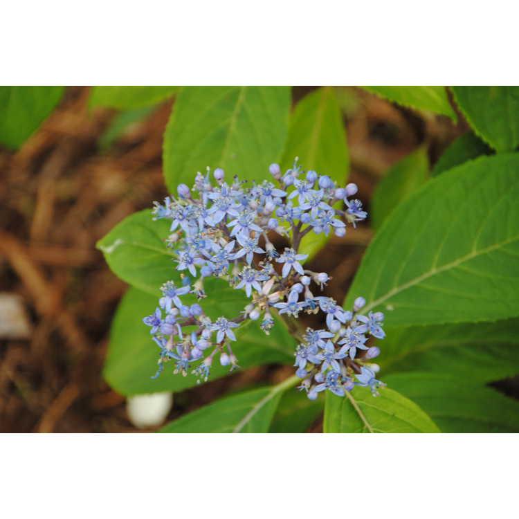 ×Didrangea versicolor - evergreen false hydrangea