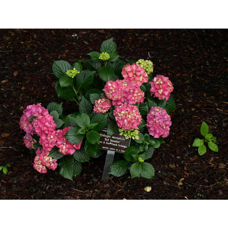 Hydrangea macrophylla Red Sensation Forever & Ever Red