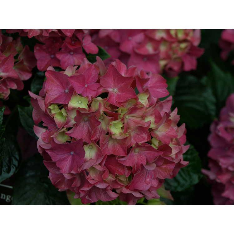 Hydrangea macrophylla 'Red Sensation'