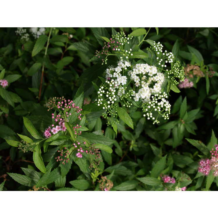 Spiraea japonica 'Shibori' - Japanese spirea