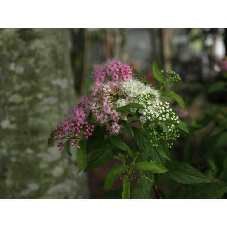 Spiraea japonica Shibori