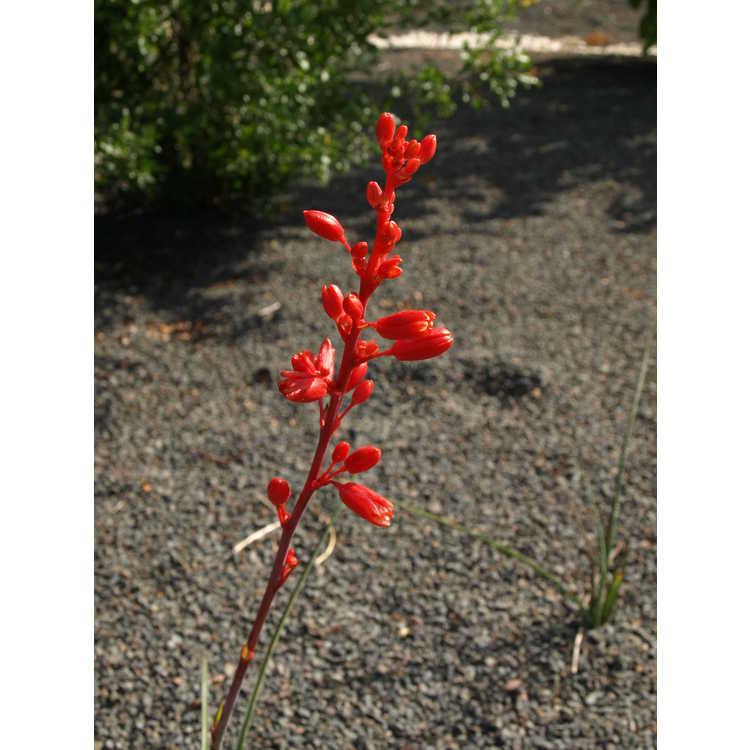 Hesperaloe 'Arizona Sunset' - hybrid red yucca