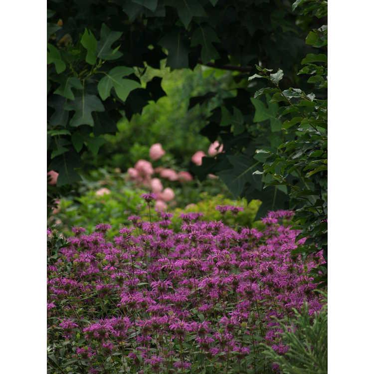 Monarda fistulosa × M. bartlettii 'Peter's Purple' - Peter's purple bee balm