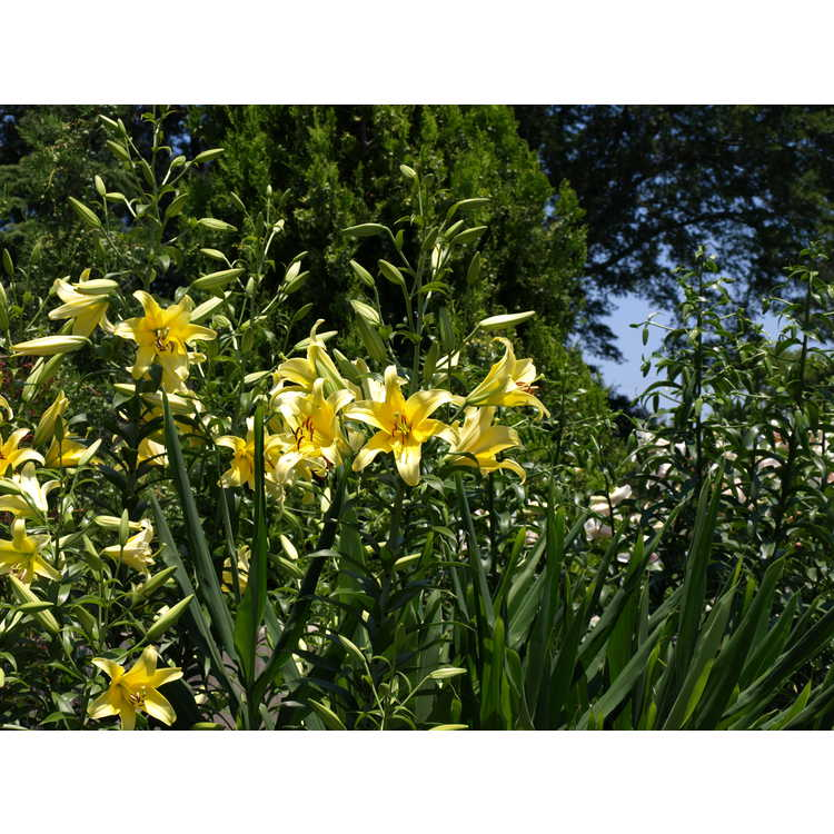 Lilium 'Yelloween' - Orienpet lily