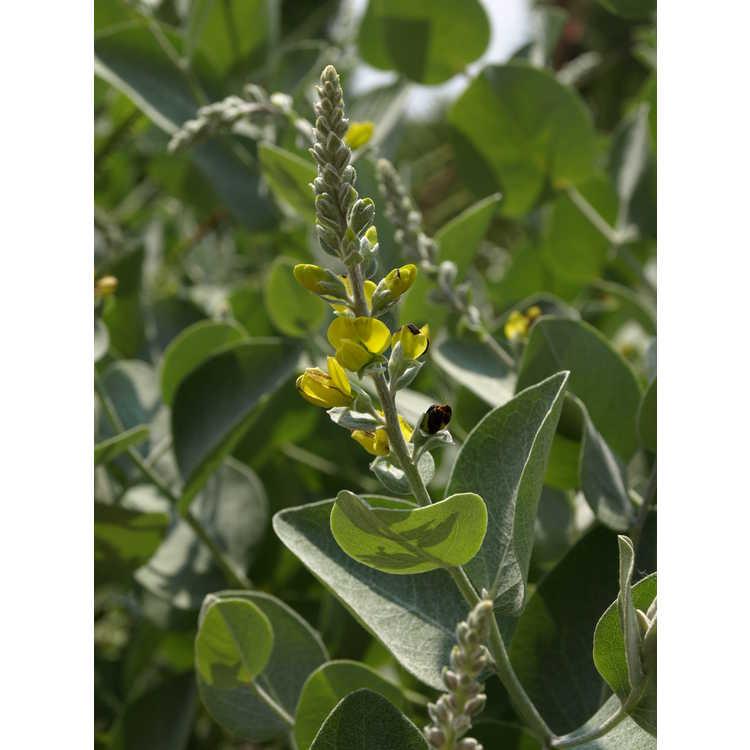 Baptisia arachnifera B. simplicifolia