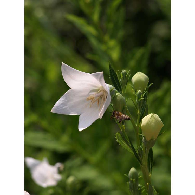 Platycodon grandiflorus Fuji White