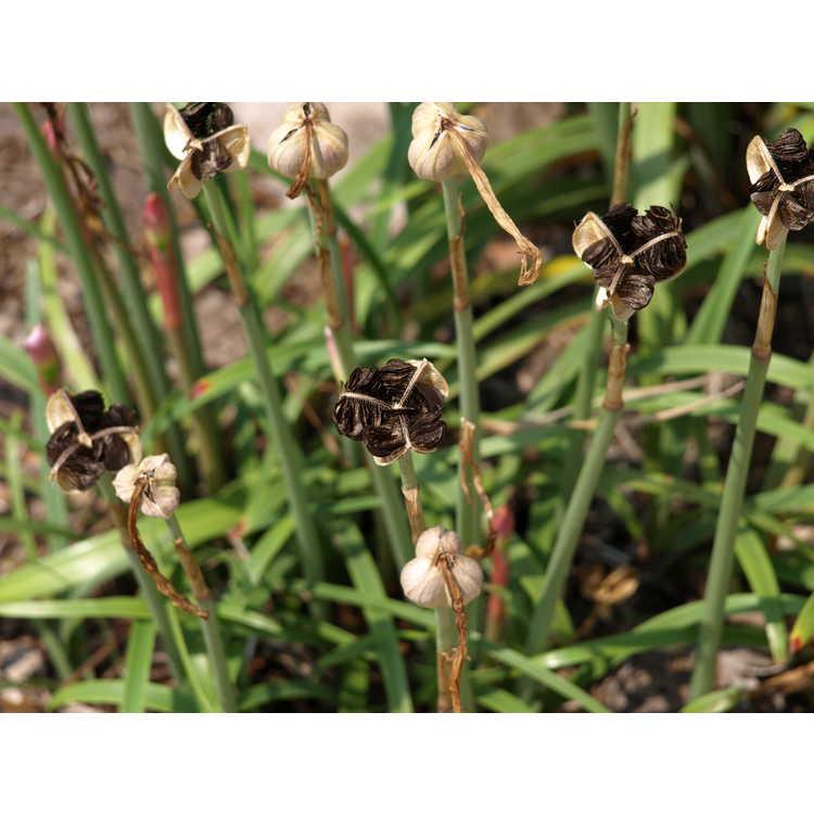 Habranthus robustus - rain-lily