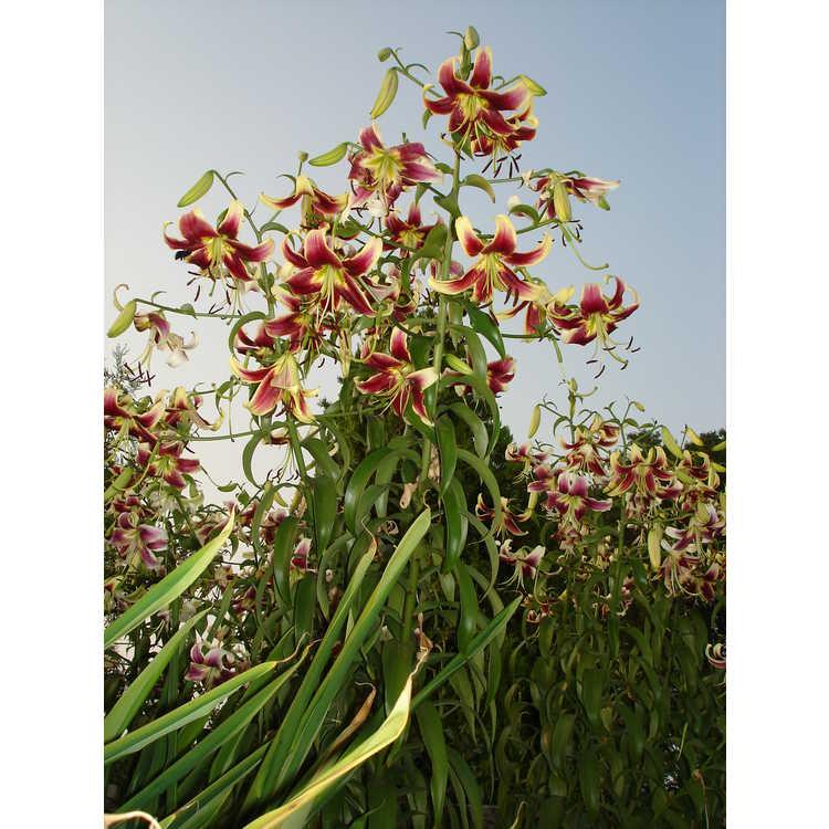 Lilium 'Scheherazade' - oriental-trumpet lily