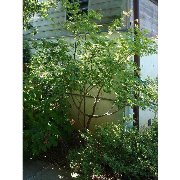 Acer japonicum 'Filicifolium' - fern-leaf maple
