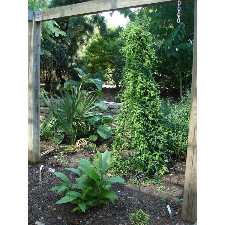 Manettia cordifolia 'John Elsley'