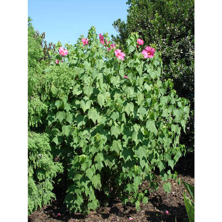 Hibiscus paramutabilis