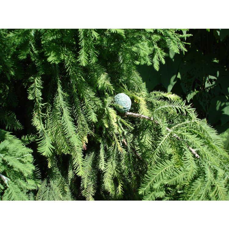 Taxodium distichum 'Cody's Feathers'