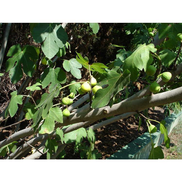 Ficus carica 'Lattarula'