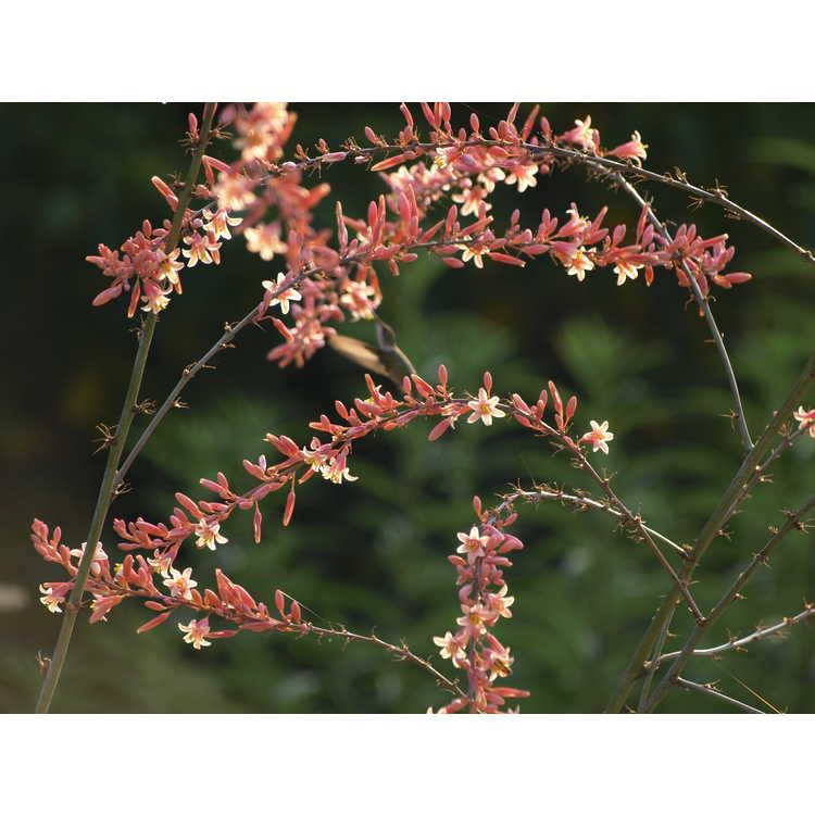Hesperaloe campanulata (Sierra Chiquita form) - bell flower hesperaloe