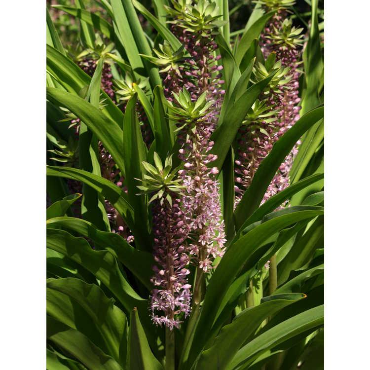 Eucomis 'Reuben' - hybrid pineapple lily