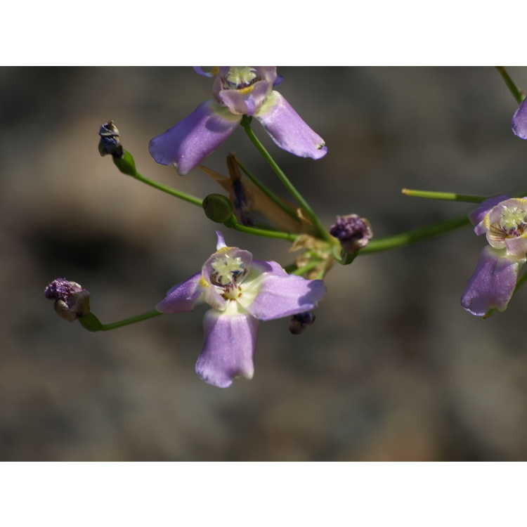 Ennealophus euryandrus - Argentine blue irid