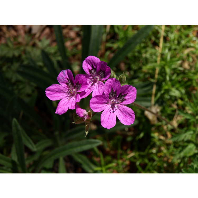 Erodium manescavi